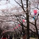 古城公園の桜
