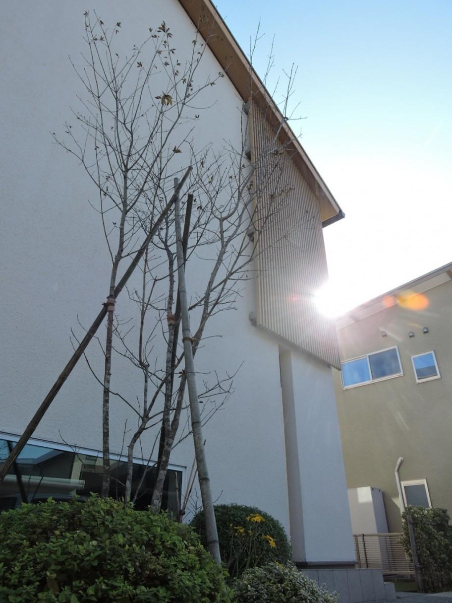 アオダモ シンボルツリー 植え替え