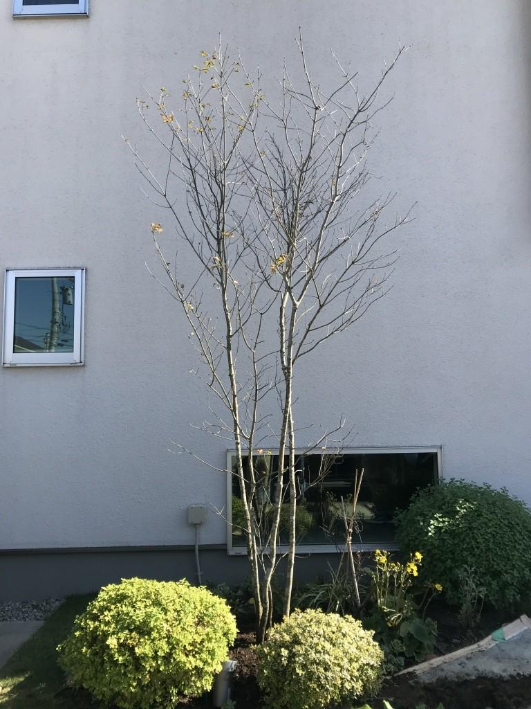 植え替え シンボルツリー