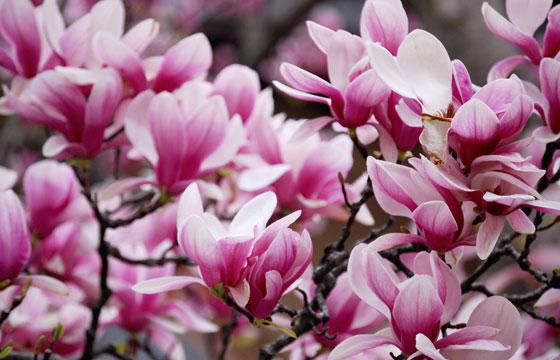 magnolia-quinquepeta